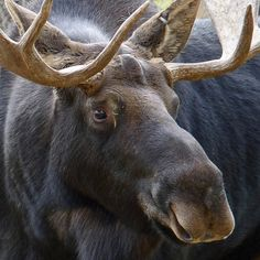 Uggles, cute, wrapped in beautiful. Moose Pics, Moose Pictures, Wildlife Paintings, Animal Paintings, Cute Creatures, Beautiful Creatures, Caribou Maine, Bull Moose, Moose Head