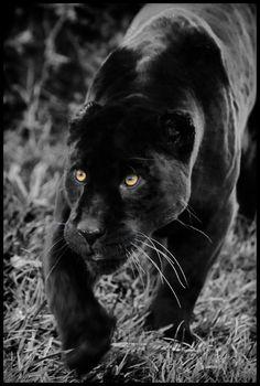 Athena The Black Jaguar Jaguar Leopard Black Jaguar Especie Animal Fauves Gato