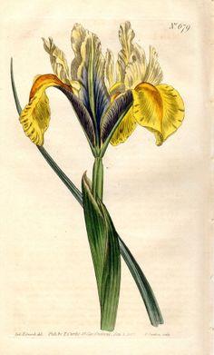 1803 Iris Antique Botanical Print Yellow Vintage Flower Plate Curtis Botanical