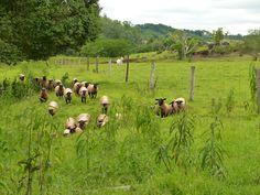 Sheep movement