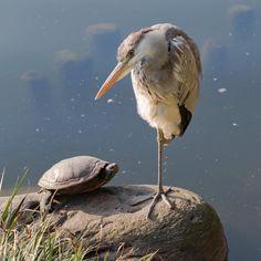 サギとカメ 微妙な距離感  #亀#カメ#turtle #青鷺#アオサギ#サギ#鷺#heron #水鳥#野鳥#Wildbird#bird#birdwatching…