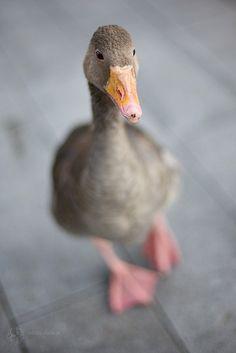 Grey duck - So cute!