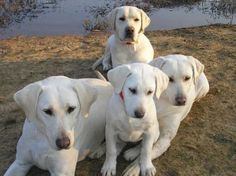 Adorable white lab dogs.