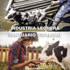 Las lecherías son empresas que negocian con la leche. La leche es producida por las vacas -y todos los mamíferos- al momento de parir para alimentar a sus bebés. Las lecherías embarazan a las vacas a la fuerza y les quitan sus bebés robarles su leche. Todos los bebés machos serán asesinados y las bebés hembras correrán el mismo destino que sus madres. Le quemarán los cuernos sin anestesia perforarán sus orejas las pondrán en pequeños corrales las inseminarán y luego les quitarán a sus hijos…