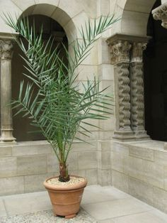 Potted Date Palm In Saint Guilhem Cloister