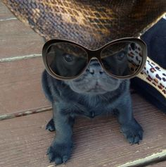 Cute Black Pug Puppy LOL