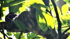 Tired? // Sloth, Costa Rica, Animal, Rainforest, Wildlife