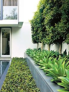EP - love this Ficus hillii pleached hedge