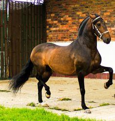 Colombian Trote y Galope horse. **RUBLO DE LUISA FERNANDA - Trote y Galope…