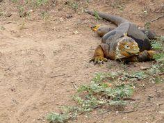 Galapagos, Santa Cruz: female land iguana.