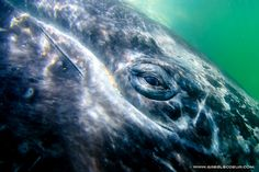 Eyes to eyes with gray whales by Greg Lecoeur on 500px