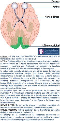 Cornea - Retina - Nervio óptico - lóbulo occipital - Asociación Educar - Ciencias y Neurociencias aplicadas al Desarrollo Humano - www.asociacioneducar.com