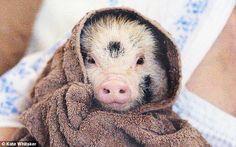 miniature pig in bath towel