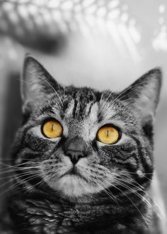 Picture Cat, Gold Eyes, Cute Images, View Image, Photos, Pictures, Cats, Golden Eyes, Gatos