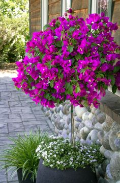 This is a cutie... bougainvillea trellis.