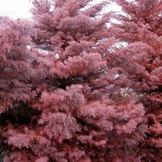 Cryptomeria japonica 'Elegans' Tree Lush Garden, Garden Trees, Lawn And Garden, Evergreen Shrubs, Trees And Shrubs, Garden Makeover, Cedar Trees, How To Grow Taller, Types Of Soil