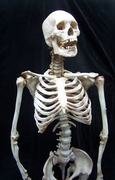 This Lifesize Skeleton Comes With A Seamless Body And Museum Quality Male Skull. Human Skeleton Anatomy, Human Anatomy Drawing, Human Skeleton Bones, Anatomy Bones, Skull Anatomy, Skull Reference, Figure Drawing Reference, Anatomy For Artists, Animal Bones