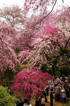 Spring  of japanese garden