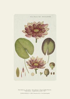 Hvid nøkkerose, en smukt illustration fra det botaniske værk Flora Danica 1874