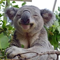 Just a happy koala bear, that is all. That Koala is high as hell from the Eculyptus leaves it ate! Smiling Animals, Happy Animals, Cute Baby Animals, Animals And Pets, Funny Animals, Funny Koala, Cute Koala Bear, Laughing Animals, Farm Animals
