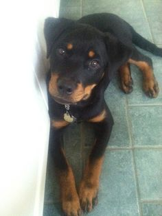 Isolde the Rottweiler :)