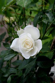 """~White Climbing Rose """"Schneewittchen"""""""