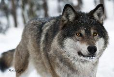 A Beautiful Grey Wolf by PictureByPali.deviantart.com on @deviantART