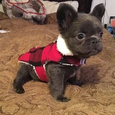 So cute! French Bulldog Puppies, Baby Puppies, Baby Dogs, Cute Puppies, Cute Dogs, Doggies, Mini French Bulldogs, Long Haired French Bulldog, French Bulldog Blue