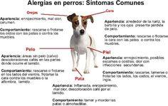 Mi perro es alérgico http://blog.theyellowpet.es/mi-perro-es-alergico/