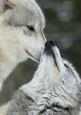 Two wolves interacting and displaying submissive behavior stock photo