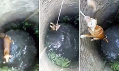 Brave dog finally manages to climb freeafter ten attempts by rescuers.