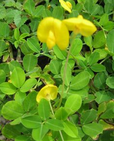 Arachis glabrata, Golden Ornamental Peanut, Perennial Peanut | PlantVine
