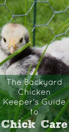 Chick Care :: Five Little Homesteaders