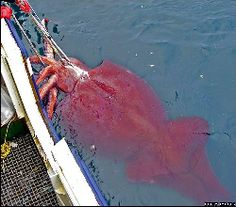 The Colossal Squid is believed to be the largest squid species. Though it is known from only a few specimens, current estimates put its maximum size at 12 - 14 metres (39 - 46 feet) long, based on analysis of smaller and immature specimens, making it the largest known invertebrate.