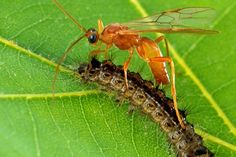 Parasitic Wasps Genetically Engineer Caterpillars Using Domesticated Viruses - The Atlantic
