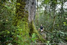 One of the huge Outeniqua Yellow Wood trees, more than 650 years old, in the Diepwalle section of the Knysna forest