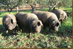 Alentejanamente Comendo - Nelson Banza: Porco Ibérico / Presunto de Barrancos
