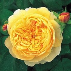 Charles Darwin Rose  Strong and delicious fragrance varies between a soft, floral tea and almost pure lemon