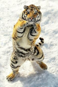 Kung fu tiger style