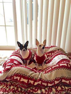 Chihuahuas so cute