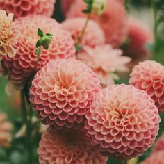 One of my favourite dahlias Crichton Honey captured in the garden by @kellybrownphoto #dsfloral
