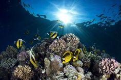Chaetodon lunula et pomacanthidae sur un récif de la mer rouge, près de Sharm el Sheik, Egypte.