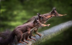 Hail Caesar - Photoshop edited image  Red Squirrels begging for food