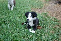 Litter of 4 Border Collie puppies for sale in ORLANDO, FL. ADN-25759 on PuppyFinder.com Gender: Male. Age: 12 Weeks Old