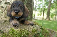 Miniature wirehaired dachshund puppy