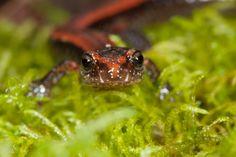 Western Red-backed Salamander from Northwest Oregon.