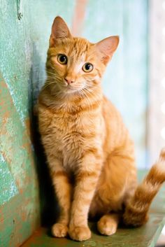 Scientists have found that different genetic combinations can affect the color, pattern, and length of a cat's fur. But what does that mean for orange cats? Are all orange cats male? Orange Tabby Cats, Red Cat, Pretty Cats, Beautiful Cats, Pretty Kitty, Chatons Oranges, Animal Gato, Gatos Cats, White Cats