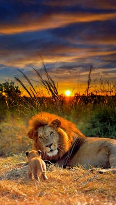 Desde Neuquén, Argentina - Gisela Slotta - Desde Neuquén, Argentina I'm coming Dad! Lion Images, Lion Pictures, Animal Pictures, Nature Animals, Animals And Pets, Beautiful Cats, Animals Beautiful, Lions Photos, Majestic Animals