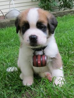 Saint Bernard....I know they're GINORMOUS (& probably slobbery)....but who can resist THIS FACE?!  ;)