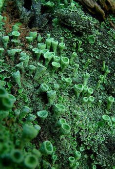 The Living Forest : Trumpet Lichen Photo & image by Mark Billiau. ᐅ View and rate this photo free at fotocommunity. Alien Plants, Mousse, Moss Wall Art, Mushroom Fungi, Paludarium, Backyard Garden Design, Patterns In Nature, Landscaping Plants, Tree Study
